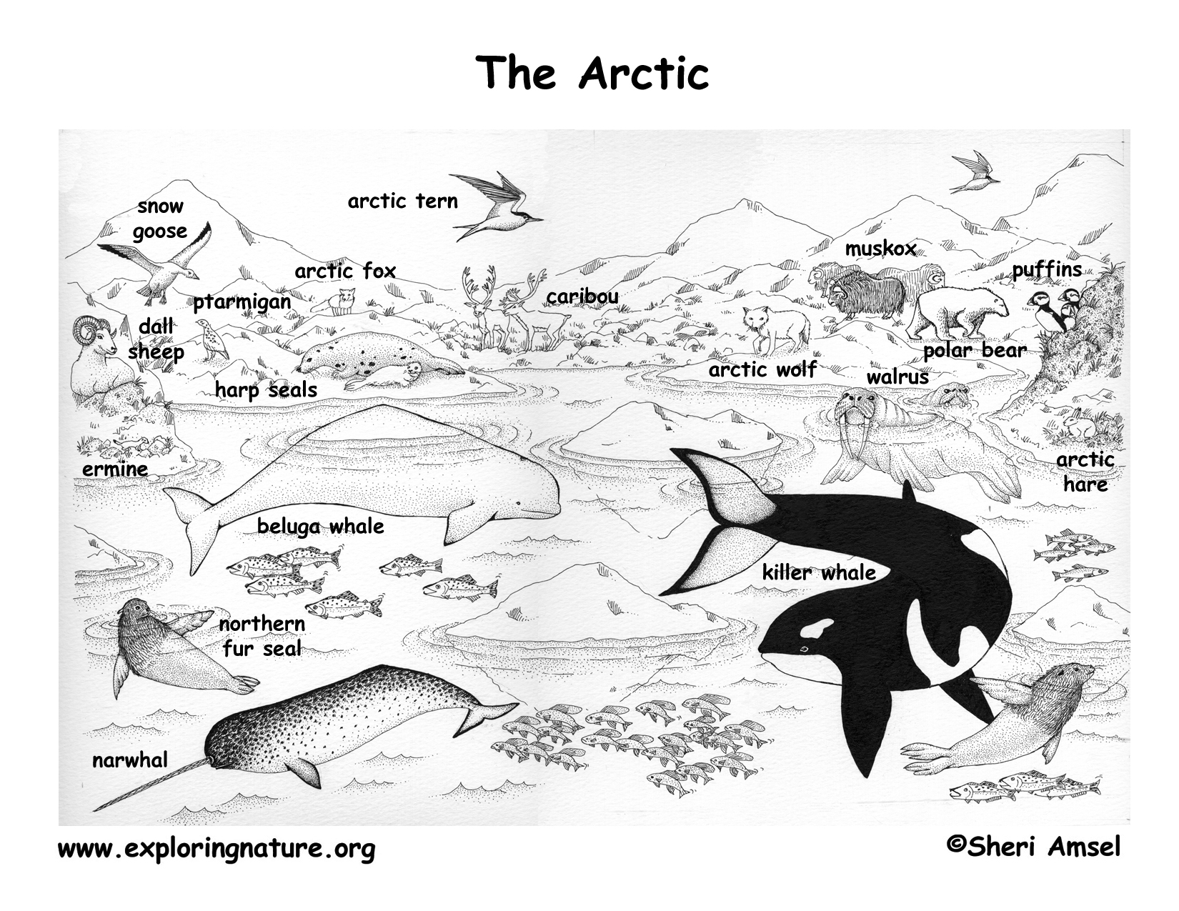 tundra coloring pages arctic tundra animals coloring pages free printable tundra coloring pages