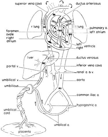 ultrasound anatomy coloring book image result for fetal circulation coloring page heart book ultrasound anatomy coloring