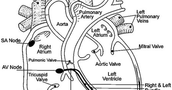 ultrasound anatomy coloring book top wedding hairstyles heart diagram labeled human book anatomy coloring ultrasound