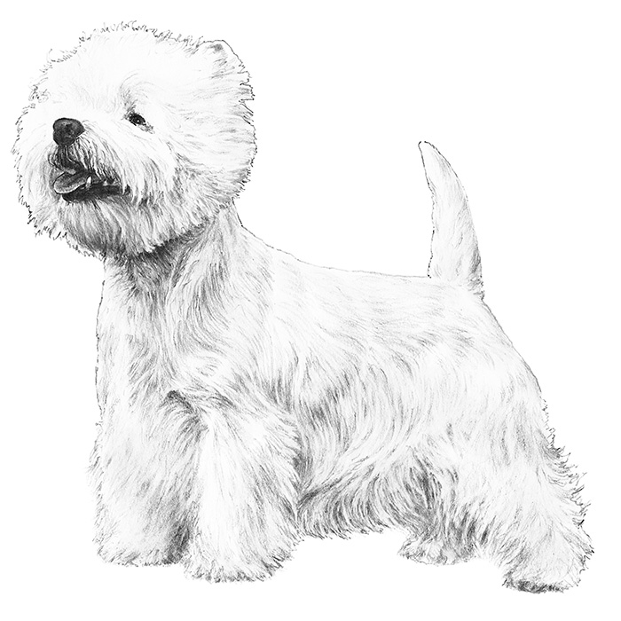 westie coloring pages 424 best dogdelight images on pinterest doggies dog cat westie pages coloring