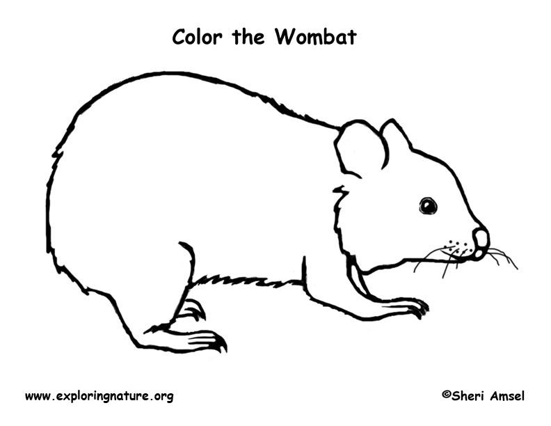 wombat colouring wombat colouring wombat colouring
