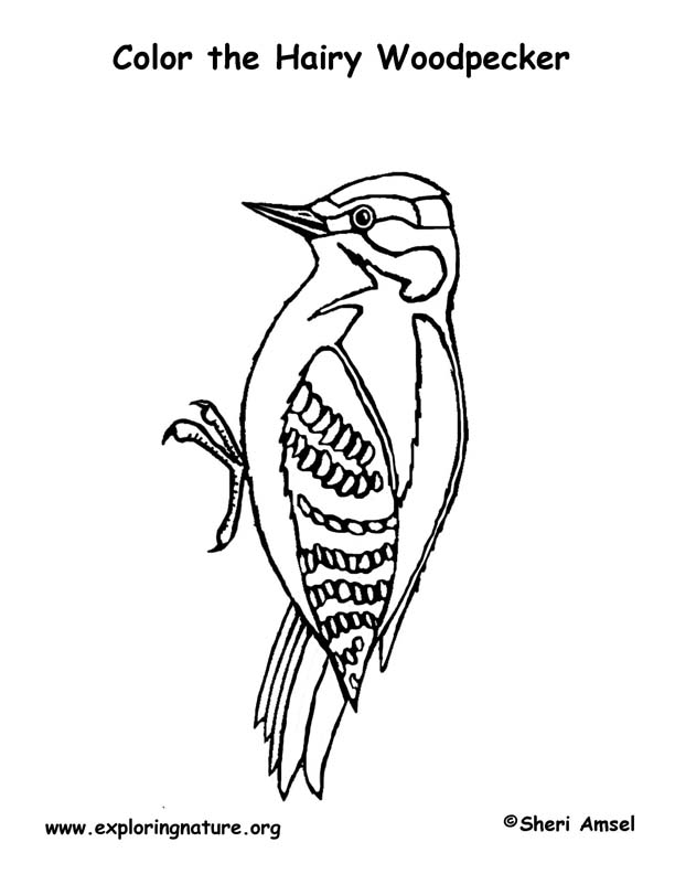 woodpecker coloring page page woodpecker coloring page woodpecker coloring