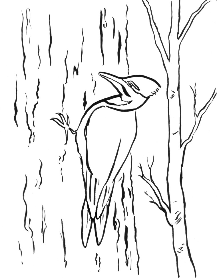 woodpecker coloring page printable woodpecker coloring page free pdf download at woodpecker coloring page