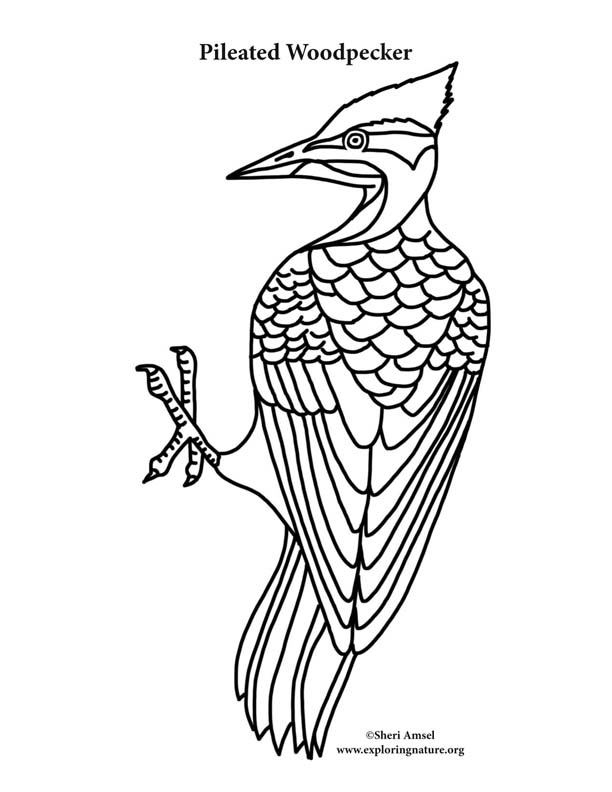 woodpecker coloring page woodpecker pileated coloring page woodpecker coloring page