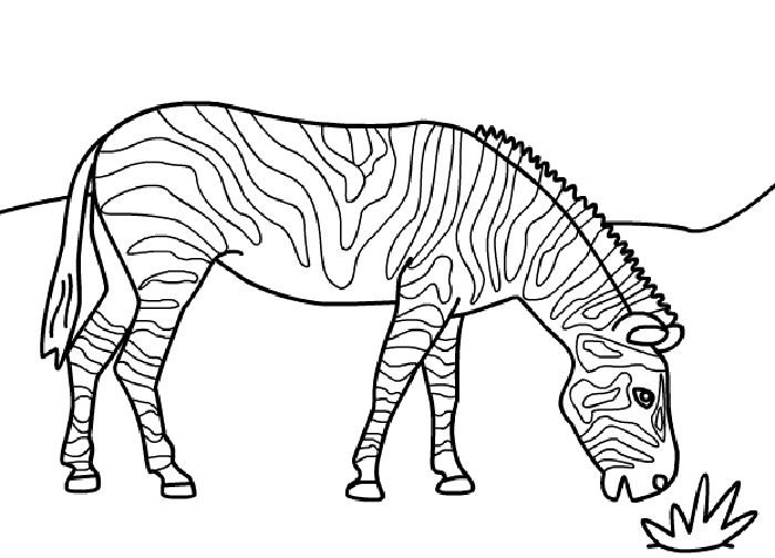 zebra pictures to colour zebra coloring pages getcoloringpagescom pictures colour to zebra