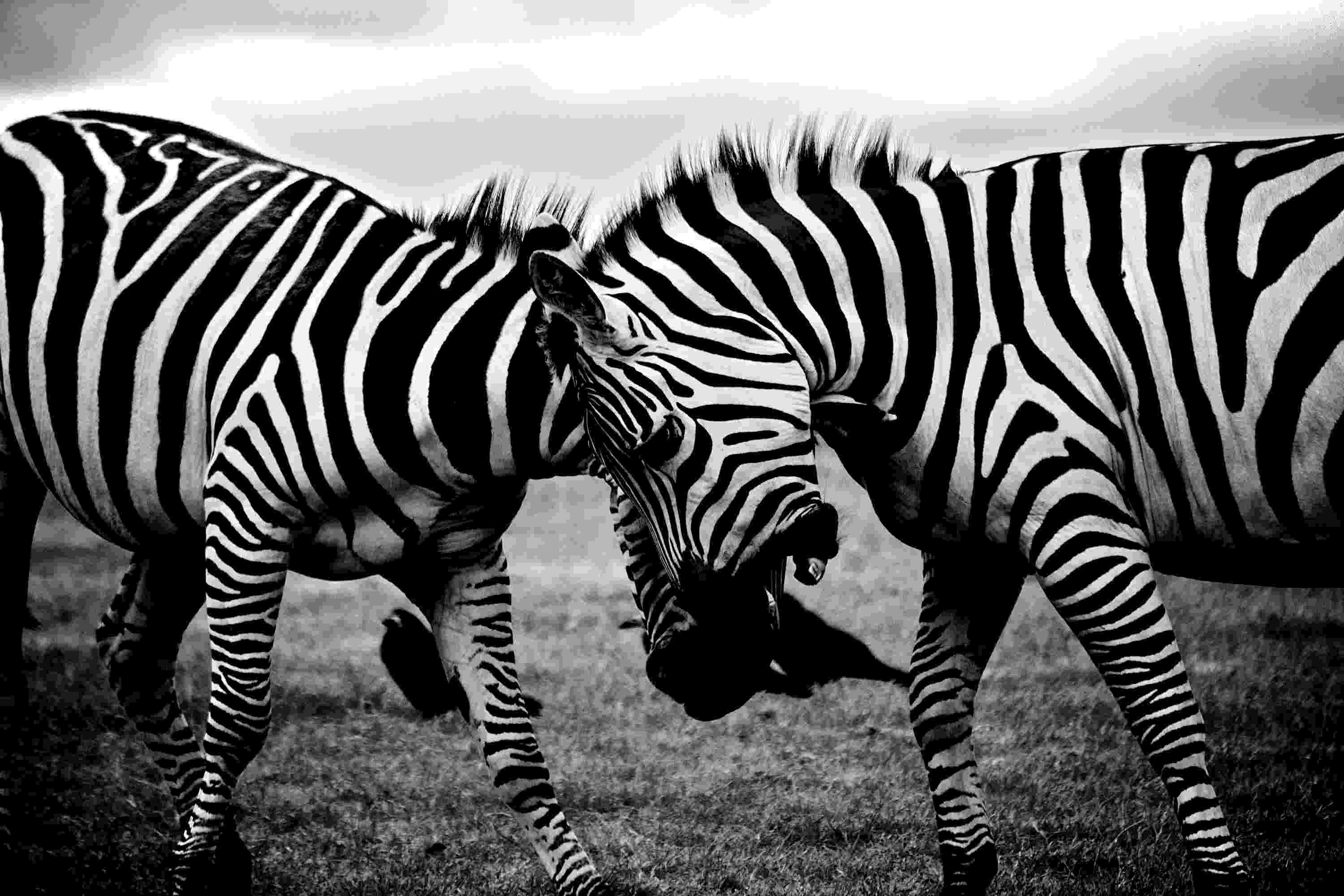 african animals dramatic black and white photos of african wildlife by animals african 1 2