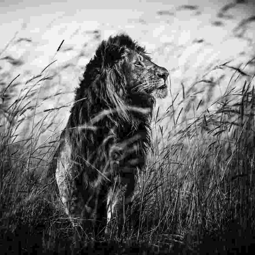 african animals free images black and white wildlife africa mammal african animals