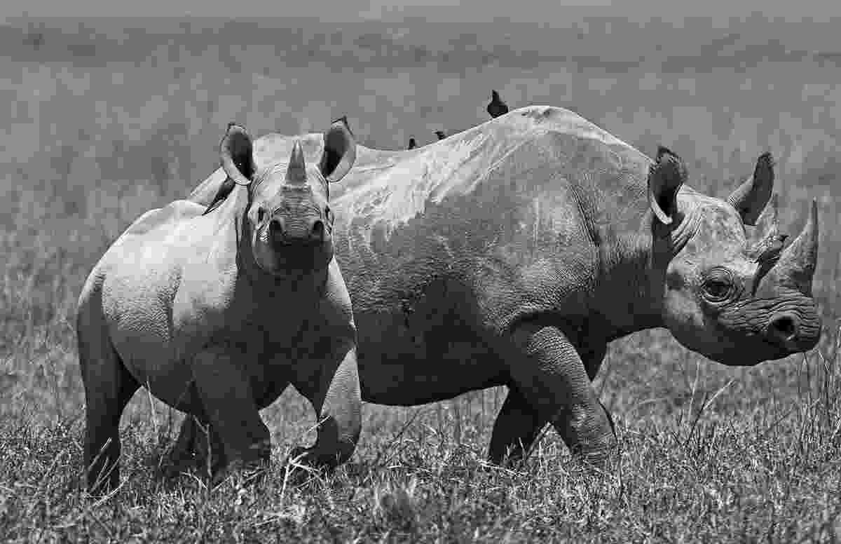 african animals pictures dramatic black and white photos of african wildlife by pictures african animals