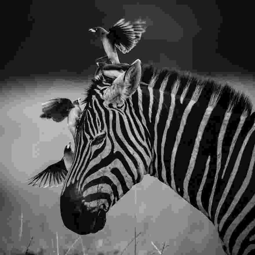 african animals pictures free images black and white animal wildlife africa african pictures animals