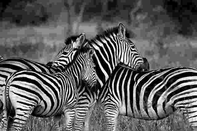 african animals pictures free stock photo of africa animals black and white animals african pictures