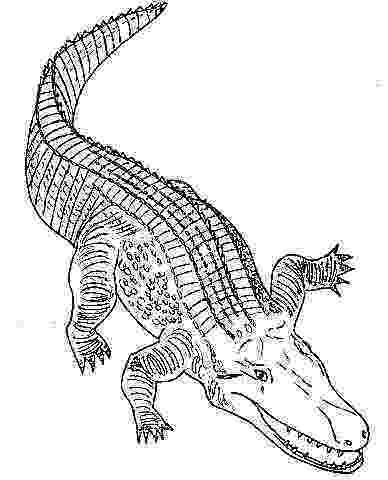 alligator color alligator coloring pages getcoloringpagescom color alligator