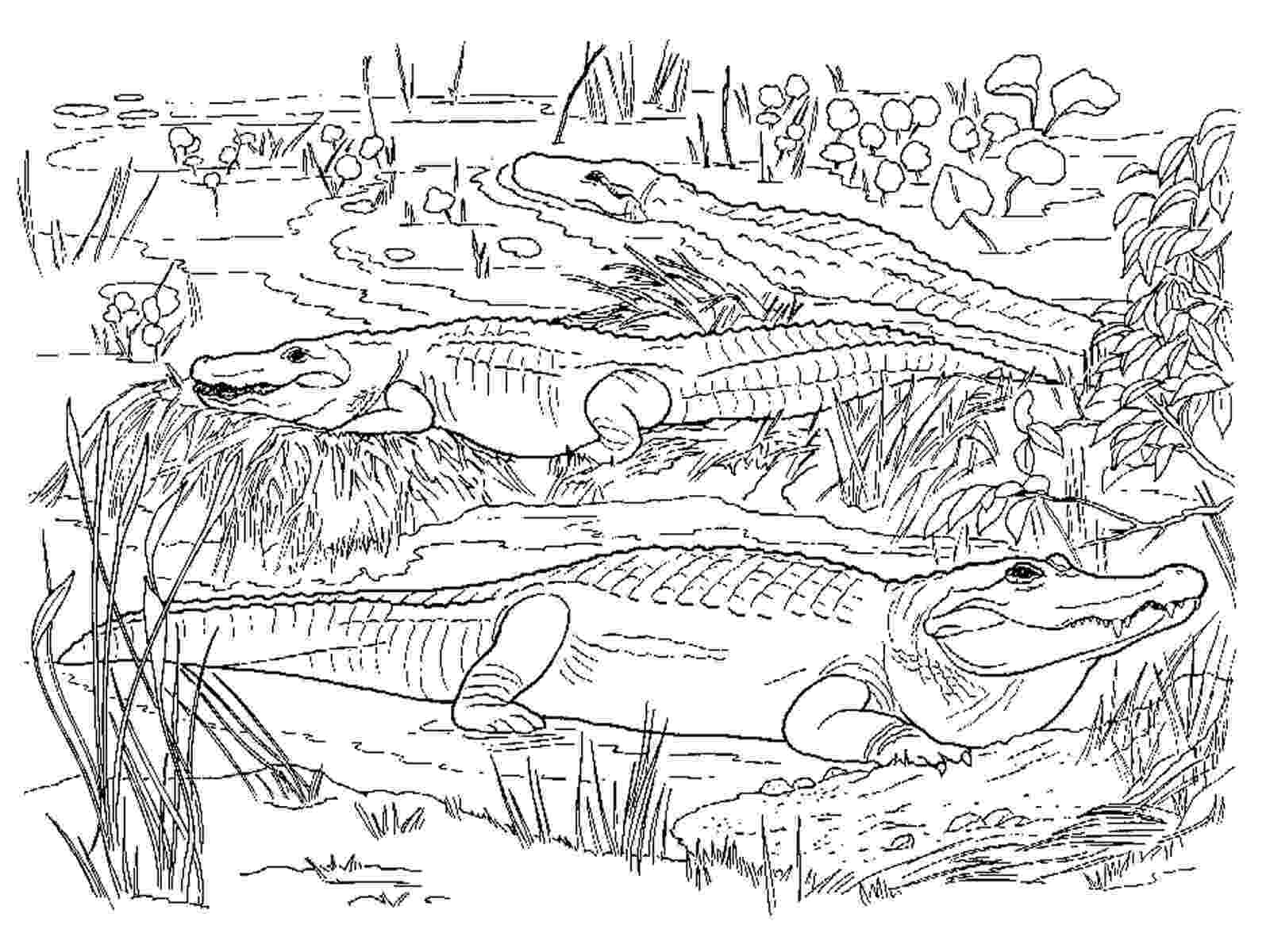 alligator coloring pages free printable alligator coloring pages for kids cool2bkids alligator coloring pages