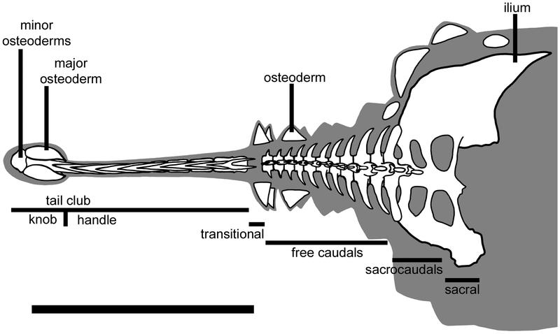 ankylosaurus pseudoplocephalus ankylosaurus through the ages ankylosaurus