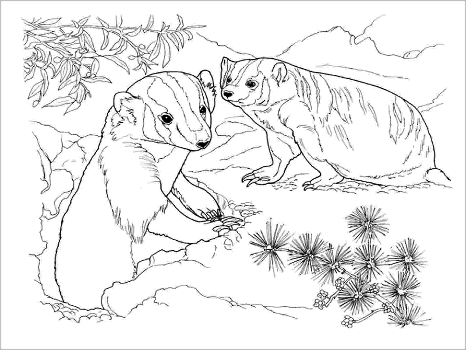 badger colouring badgers coloring pages coloringbay badger colouring