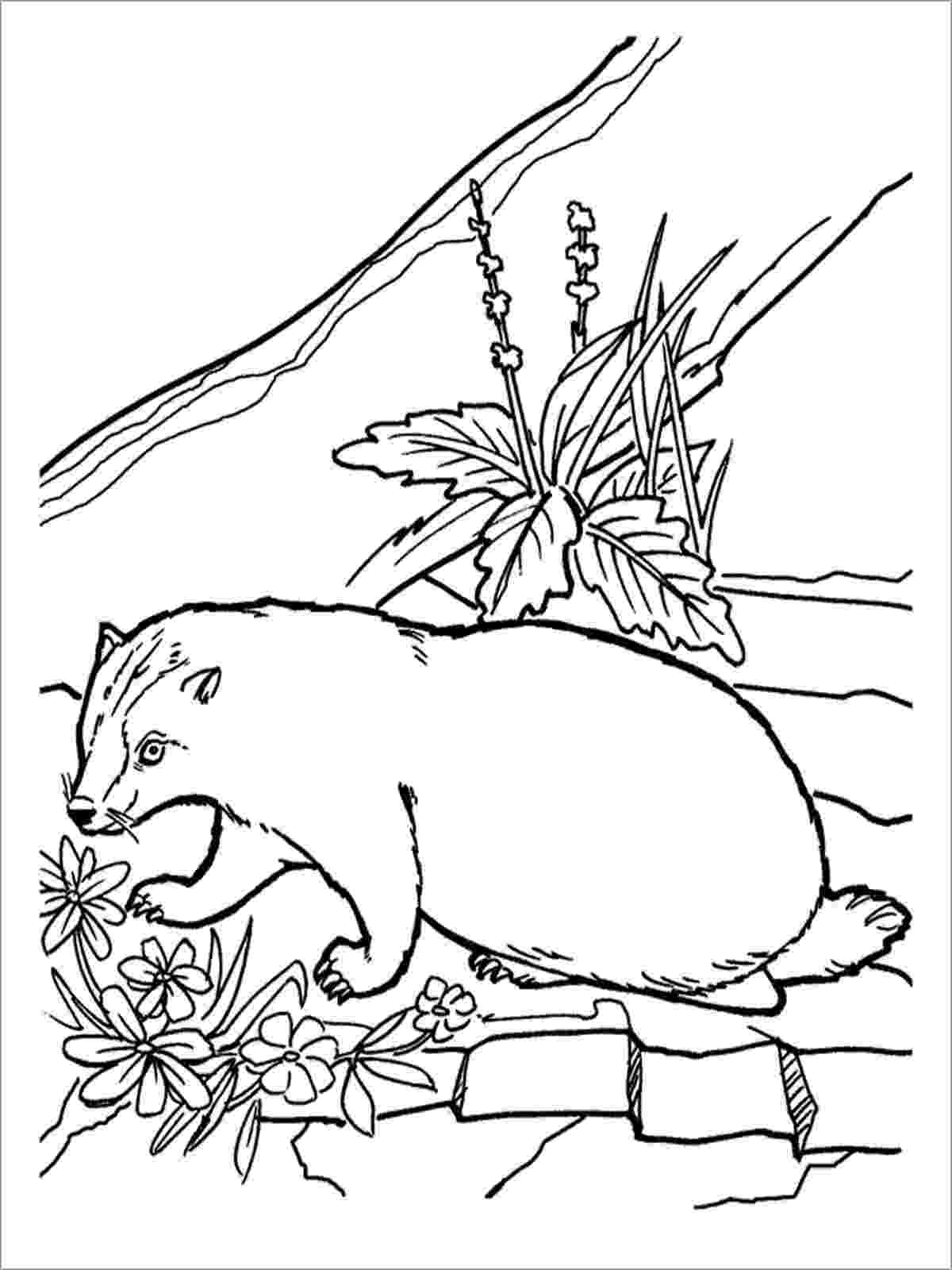 badger colouring honey badger drawing at getdrawingscom free for badger colouring