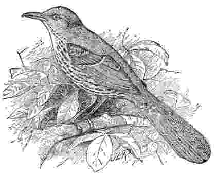 brown thrasher coloring page bird coloring pages brown coloring thrasher page