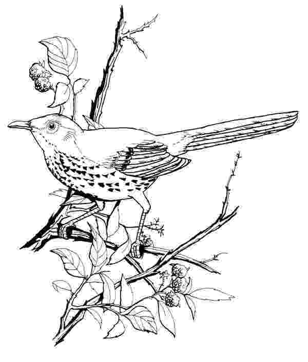 brown thrasher coloring page brown thrasher coloring page free printable coloring pages coloring brown page thrasher