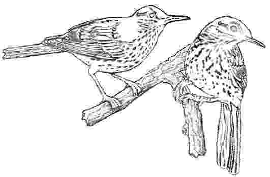 brown thrasher coloring page facts about the brown thrasher thrasher page coloring brown