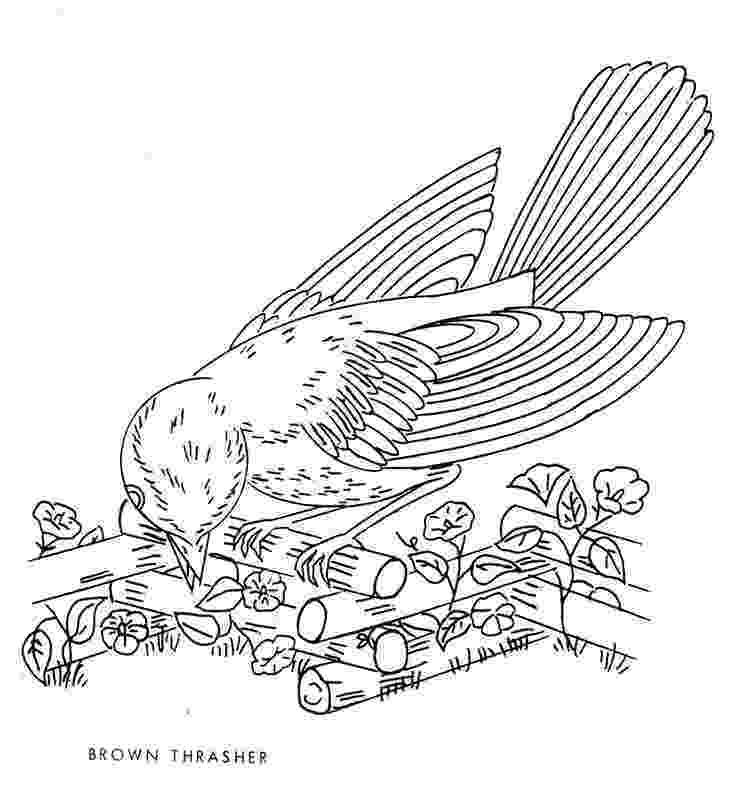 brown thrasher coloring page learn how to draw a brown thrasher birds step by step page brown coloring thrasher