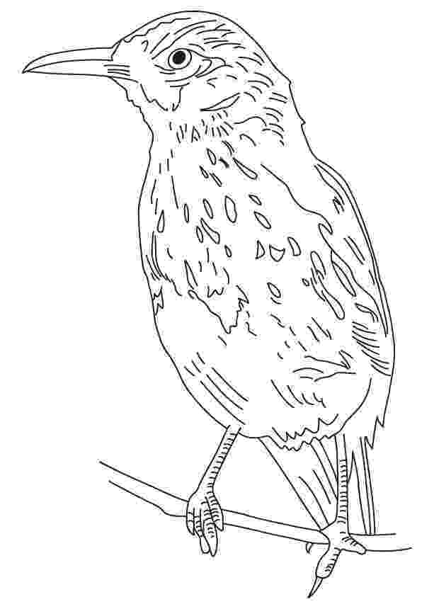 brown thrasher coloring page long tailed brown thrasher coloring page download free brown page thrasher coloring