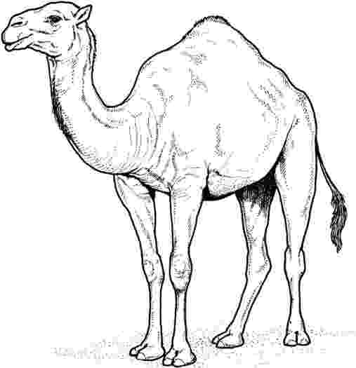 camel pictures to colour free printable camel coloring pages for kids to colour pictures camel