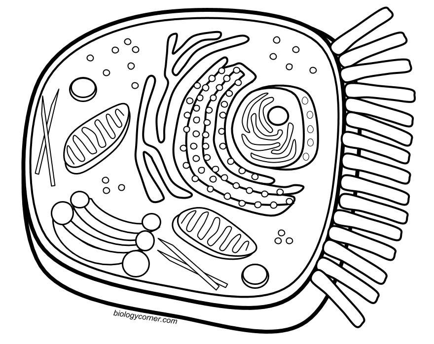 coloring a animal cell animal cell coloring page cell animal coloring a