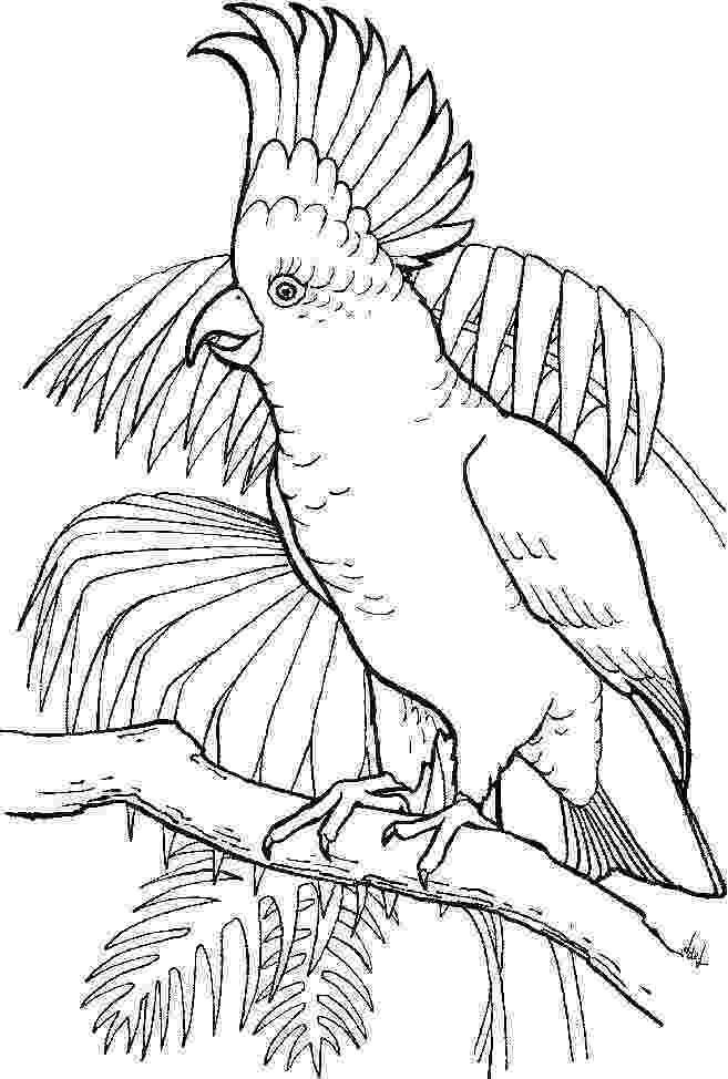 coloring pages of parrots parrot looking for food coloring page download print coloring of pages parrots