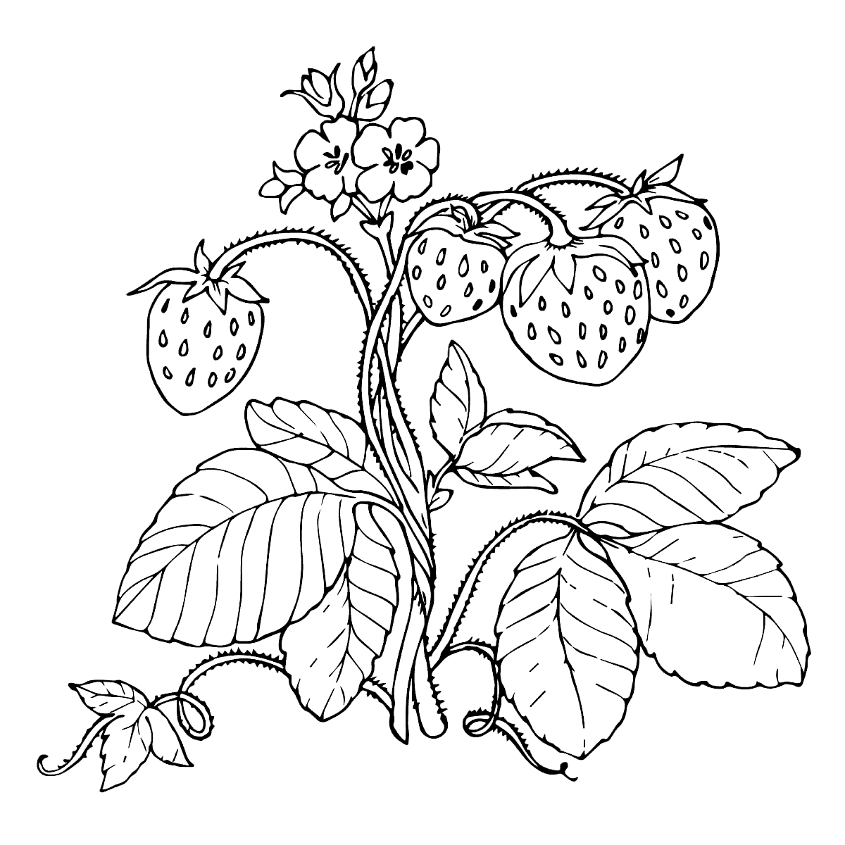 coloring strawberry strawberry plant drawing at getdrawingscom free for strawberry coloring