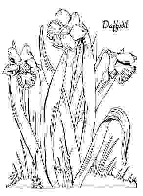 daffodil color d is for daffodil coloring page netart color daffodil
