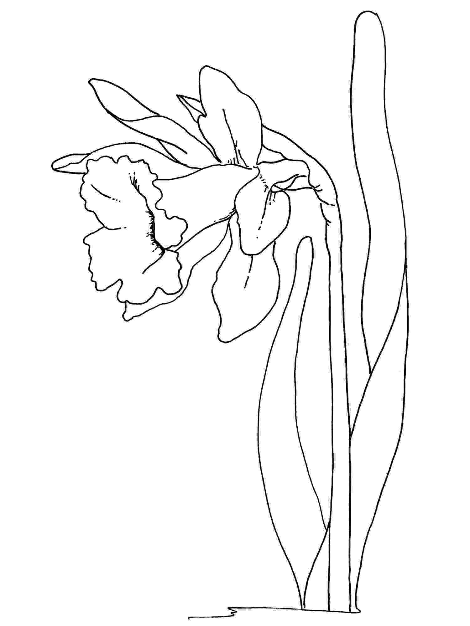 daffodil color daffodil coloring pages color daffodil 1 1