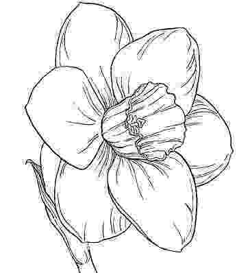 daffodil color daffodil outline clipartsco color daffodil