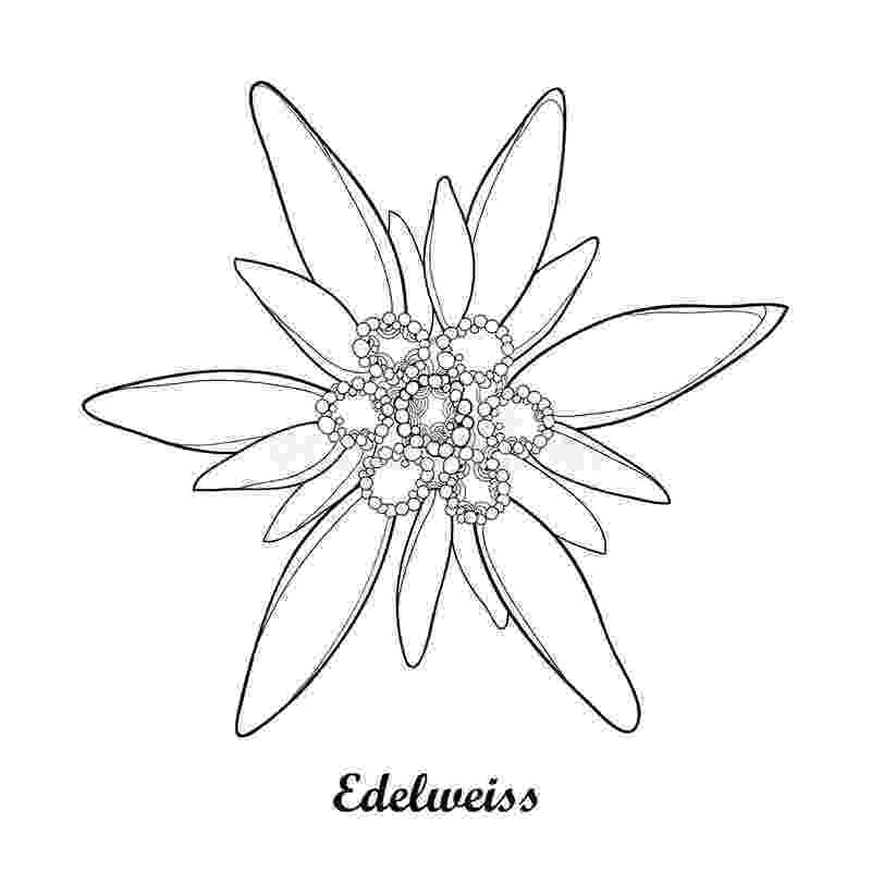 edelweiss flower coloring page alpine mountain edelweiss for summer design and coloring flower coloring edelweiss page