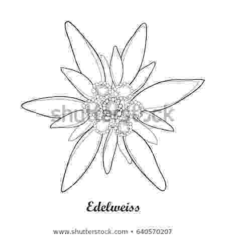 edelweiss flower coloring page azalea flower drawing at getdrawingscom free for coloring flower edelweiss page
