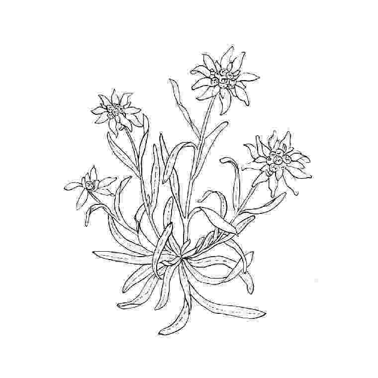 edelweiss flower coloring page best edelweiss flower drawing illustrations royalty free edelweiss page flower coloring