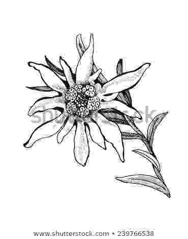 edelweiss flower coloring page edelweiss design photo by laurelari photobucket edelweiss coloring page flower