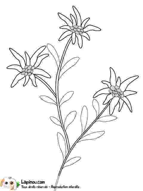 edelweiss flower coloring page edleweiss drawings gallery edelweiss coloring flower page
