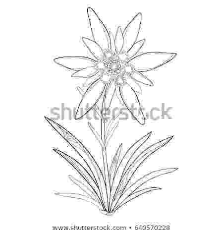edelweiss flower coloring page free edelweiss flower tattoo download free clip art free edelweiss flower page coloring