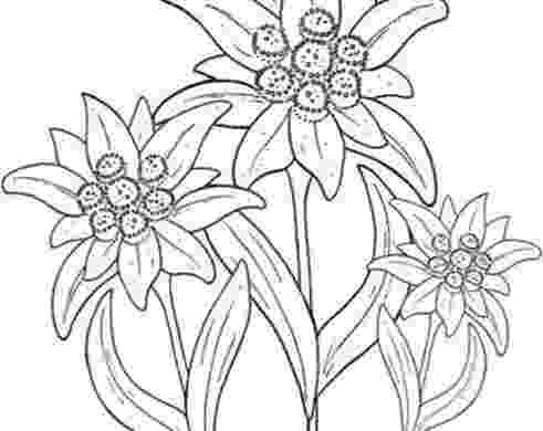 edelweiss flower coloring page vector round wreath with outline edelweiss or leontopodium flower coloring edelweiss page