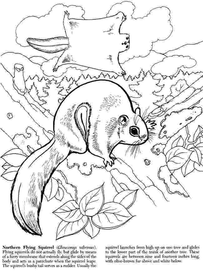 flying squirrel coloring page flying squirrel coloring page clipartsco page coloring flying squirrel