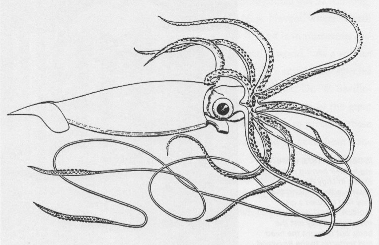giant squid coloring page squid coloring pages to download and print for free page squid giant coloring