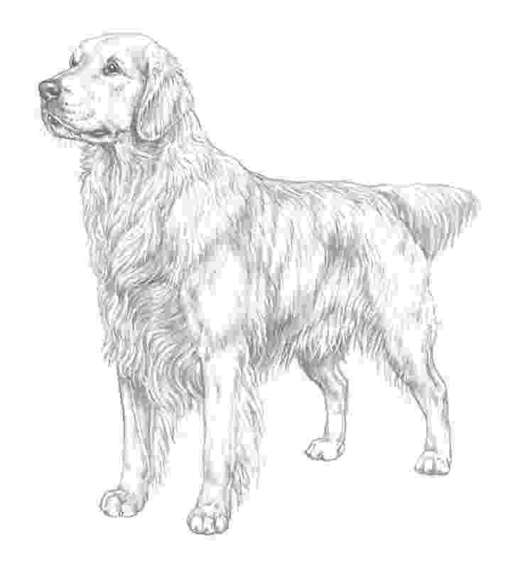 golden retriever coloring pages golden retriever puppy coloring page free printable retriever golden pages coloring