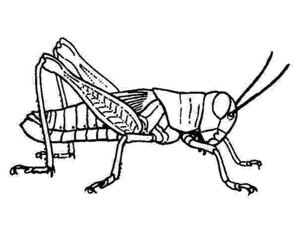 grasshopper coloring pages grasshoppers coloring pages to download and print for free coloring grasshopper pages