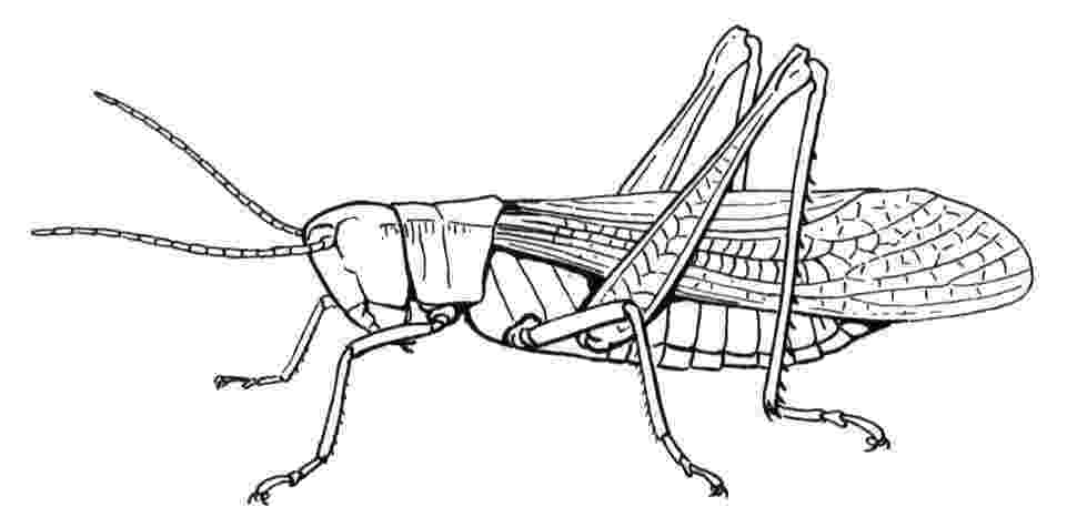 grasshopper coloring pages pinterest the worlds catalog of ideas coloring pages grasshopper