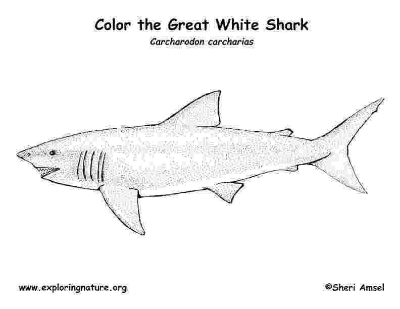 great white shark coloring shark great white coloring page coloring shark great white