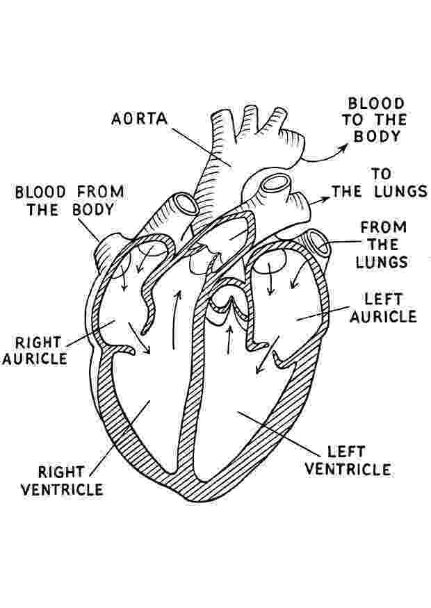 human heart coloring page human heart coloring page google search except for the human coloring page heart