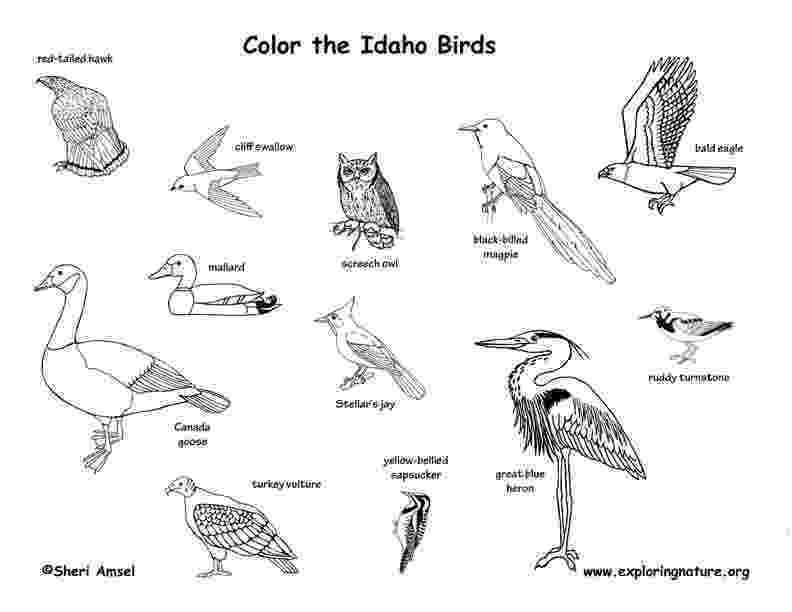 idaho state bird mountain bluebird and lewis39s mock orange idaho bird and state idaho bird