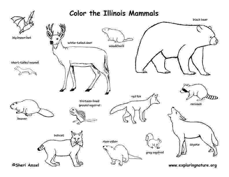 illinois state bird iowa state symbols coloring page free printable coloring illinois state bird