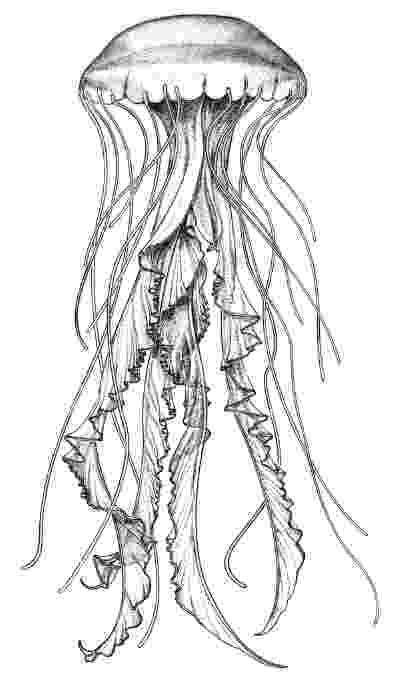 jellyfish sketch jellyfish clipart etc jellyfish sketch