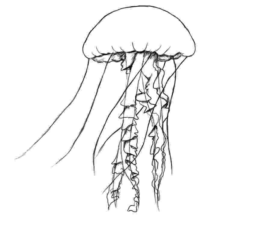 jellyfish sketch jellyfish scientific illustrations by patrice stephens sketch jellyfish
