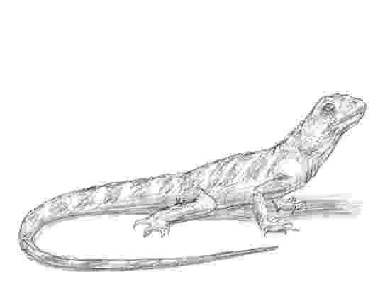 lizard sketch lizard by scott woyak lizard sketch